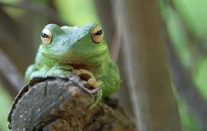 frog, frog prince