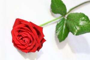 red-rose-953952-m